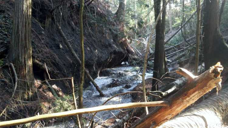 May 2018 - On the left a large amount of material has been eroded and the creek is flowing underneath the large cedar tree. The stream is much wider.