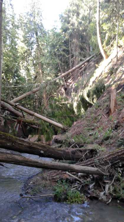 Trees falling into the creek bed